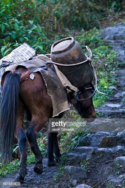 A pack horse carrying a gas cylinder and goods up a steep muddy Himalayan mountain track.