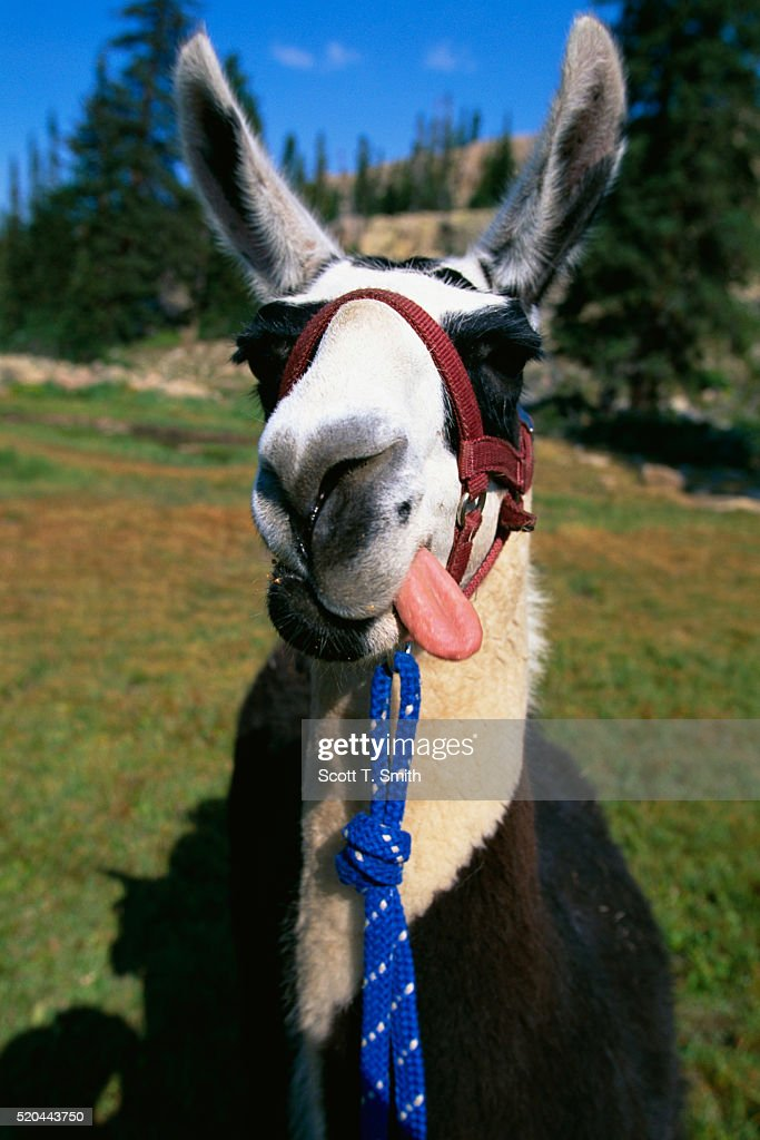 A pack llama sticks out his tongue after eating some grain in Utah's Wasatch-Cache National Forest.