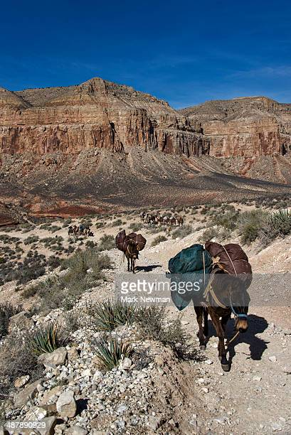 Pack mules in Grand Canyon