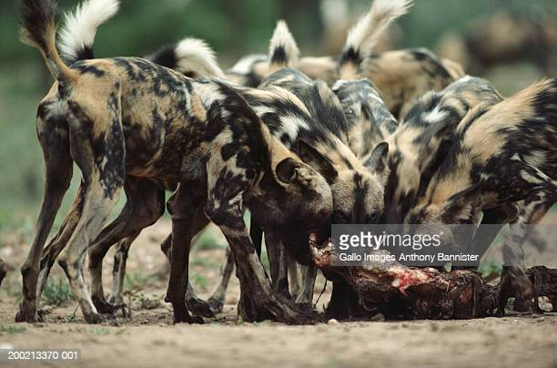Pack of African wild dogs feeding on carcass, close-up
