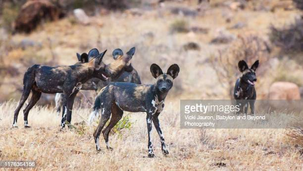 a pack of african wild dogs in the grass at samburu, kenya - pack of dogs stock pictures, royalty-free photos & images