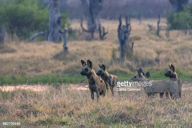 pack of african wild dogs (lycaon pictus) looking out for prey, khwai concession, okavango delta, botswana - pack of dogs stock pictures, royalty-free photos & images
