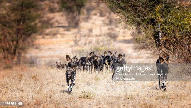 pack of african wild dogs or painted wolves moving forward in formation - pack of dogs stock pictures, royalty-free photos & images