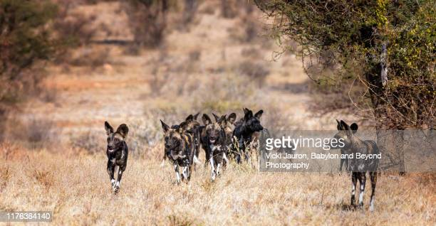 pack of african wild dogs or painted wolves moving forward while hunting in samburu, kenya - pack of dogs stock pictures, royalty-free photos & images