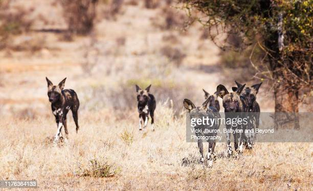pack of african wild dogs or painted wolves running forward while hunting in samburu, kenya - wild dog stock pictures, royalty-free photos & images