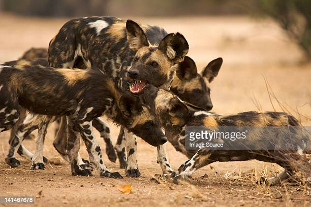 pack of african wild dogs - wild dog stock pictures, royalty-free photos & images