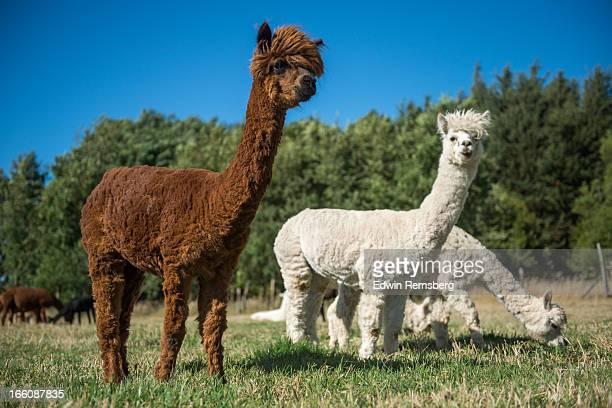 pack of alpaca - alpaga photos et images de collection