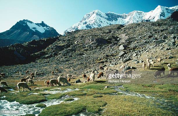 A pack of alpacas ( Lama pacos ) grazing on a grassy flats, seemingly unaware of the snow-capped mountains behind them: a scene seen on the Vilcanota Trek - Puno
