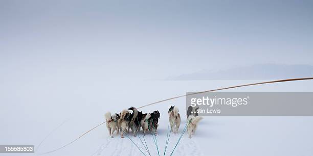 Pack of arctic dogs pulling sled with whip in snow