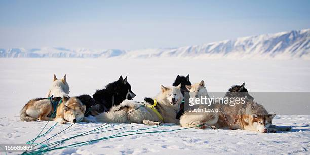 pack of arctic sled dogs huddled together to rest - pack of dogs stock pictures, royalty-free photos & images