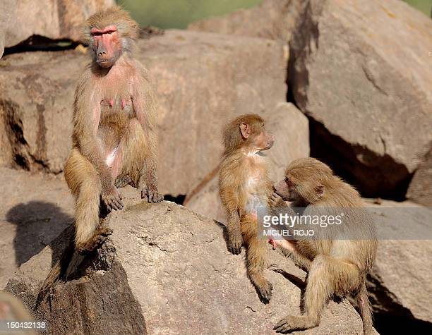 A pack of Baboons remain inside their cage at the Parque Lecocq in northeast Montevideo on August 10 2012 AFP PHOTO/Miguel ROJO