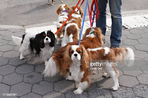 Pack of Cavalier King Charles Spaniels are seen in Central Park as the coronavirus continues to spread across the United States on March 18, 2020 in...