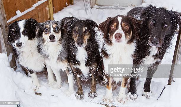 pack of cold dogs - pack of dogs stock pictures, royalty-free photos & images