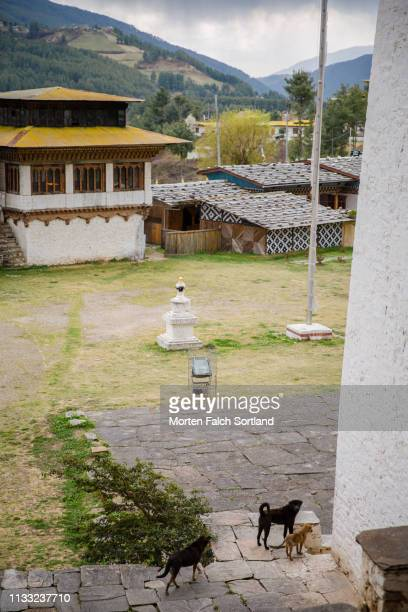 a pack of dogs going about their mundane routine in jakar, bhutan - pack of dogs stock pictures, royalty-free photos & images