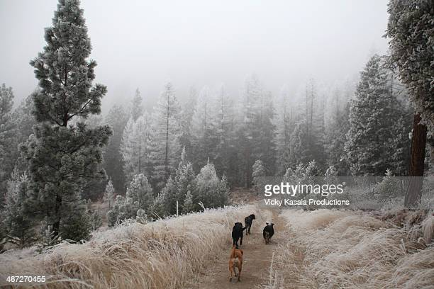 pack of dogs running down hiking trail in winter. - pack of dogs stock pictures, royalty-free photos & images