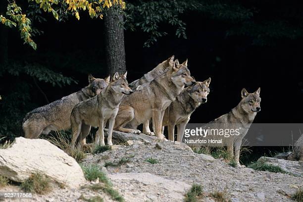 pack of gray wolves - lupo foto e immagini stock