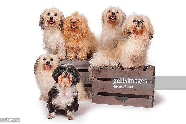 a 6 pack of havanese dogs. - pack of dogs stock pictures, royalty-free photos & images