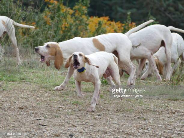 pack of hunting dogs in france at work - pack of dogs stock pictures, royalty-free photos & images