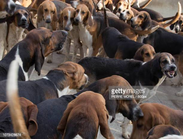pack of hunting dogs in  the kennels of cheverny c - pack of dogs stock pictures, royalty-free photos & images