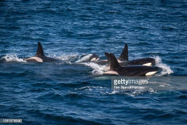 pack of killerwhales outside andenes in northern norway - finn bjurvoll stock-fotos und bilder