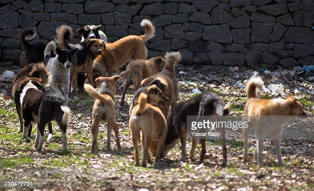 A pack of stray dogs roam on March 19 2019 in Srinagar the summer capital of Indian administered Kashmir India Every year hundreds of stray dog bite...