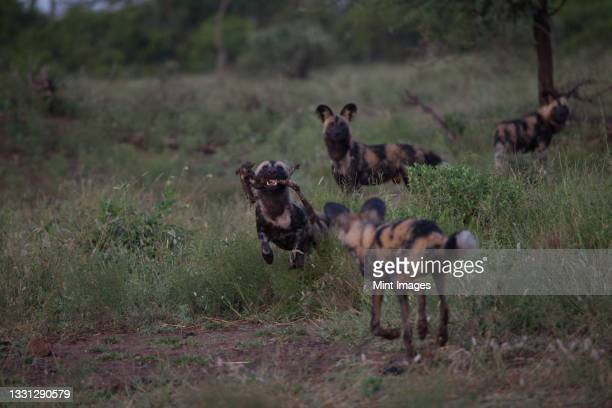 a pack of wild dog, lycaon pictus, greet each other in a grass clearing - pack of dogs stock pictures, royalty-free photos & images