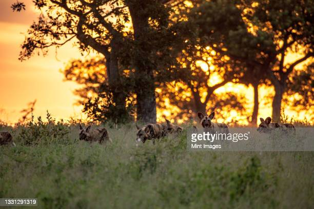 a pack of wild dog, lycaon pictus, walk through long grass during sunset - pack of dogs stock pictures, royalty-free photos & images