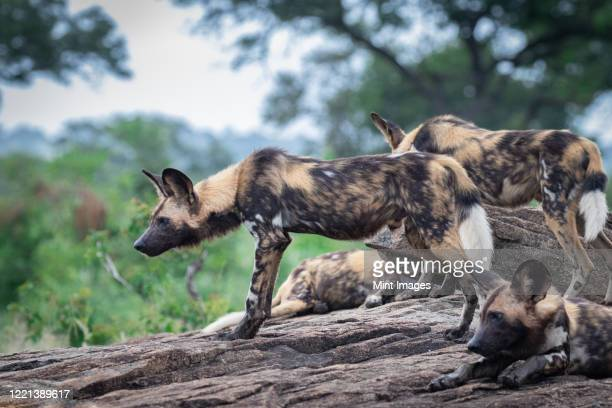 a pack of wild dog, lycaonpictus, stand a lie together - pack of dogs stock pictures, royalty-free photos & images