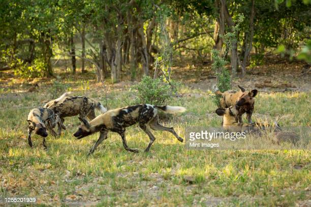 a pack of wild dogs in woodland. - pack of dogs stock pictures, royalty-free photos & images