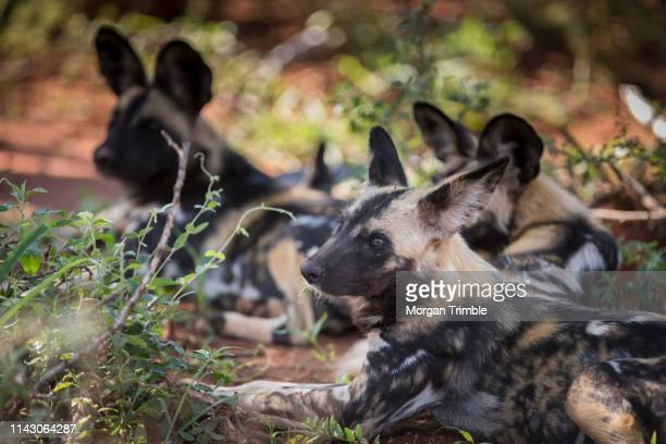 a pack of wild dogs, lycaon pictus, rests in the late afternoon, madikwe game reserve, north west, south africa. - pack of dogs stock pictures, royalty-free photos & images