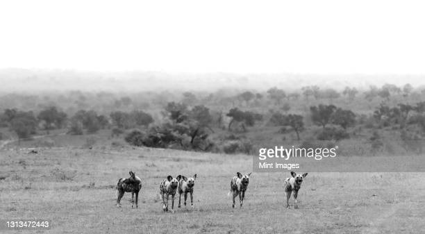 a pack of wild dogs, lycaon pictus, stand in a clearing, in black and white. - pack of dogs stock pictures, royalty-free photos & images
