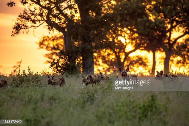 a pack of wild dogs, lycaon pictus, walk through grass during sunset. - pack of dogs stock pictures, royalty-free photos & images