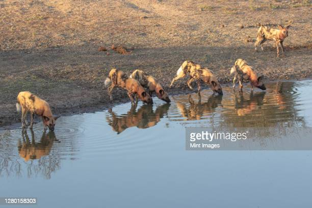 a pack of wild dogs, lycaonpictus, covered in blood, drinking at water hole - pack of dogs stock pictures, royalty-free photos & images