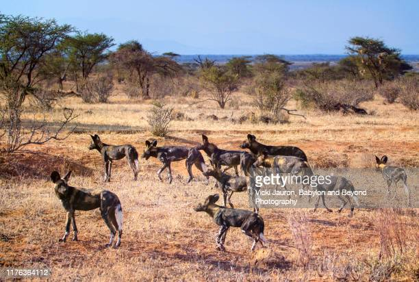 pack of wild dogs or painted wolves on the move in the landscape of samburu, kenya - wild dog stock pictures, royalty-free photos & images