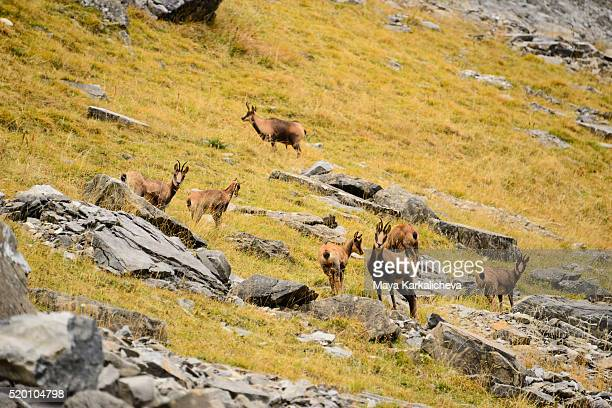 A pack of wild goats
