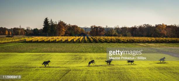 pack of wolves running near vineyard - maurice wolf stock photos and pictures