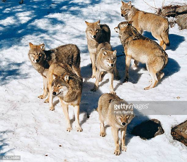Pack of wolves standing on snow