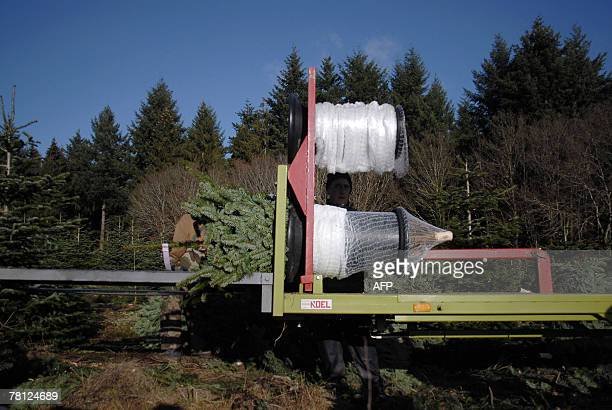 'LE PRIX DU SAPIN FLAMBE AVEC UN DEBUT DE PENURIE DU NORDMANN AU DANEMARK' A packaging machine prepares trees for sale in a Christmas trees...