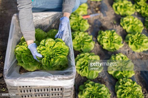 packing lettuce in bin - lettuce stock pictures, royalty-free photos & images