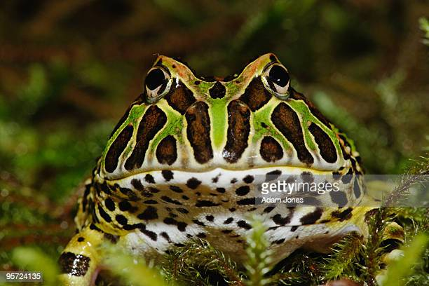 pacman frog - horned frog stock photos and pictures