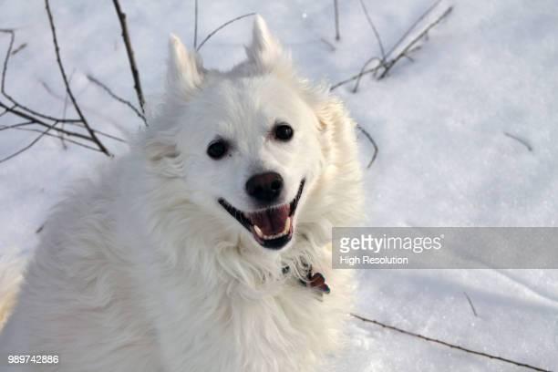 Paco American Eskimo