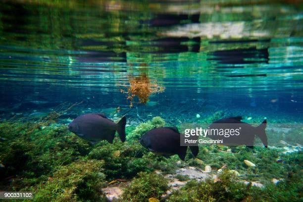 Pacu (Piaractus Mesopotamicus) in the clear water of the river, Rio da Prata, Matto Grosso do Sul, Brazil