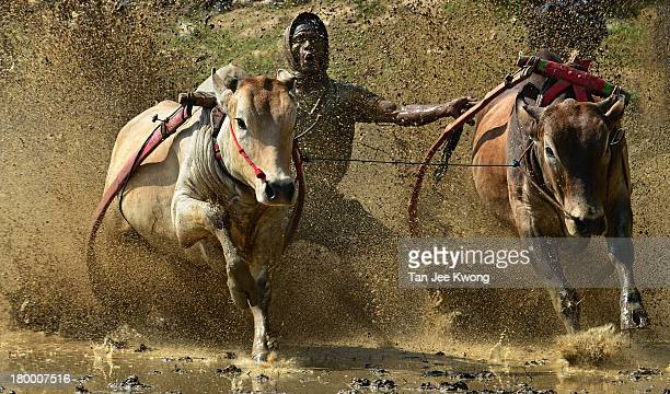 CONTENT] Pacu Jawi a 400 year tradition where farmers become jockeys to race their pair of bulls after the completion of rice harvesting at Padang...