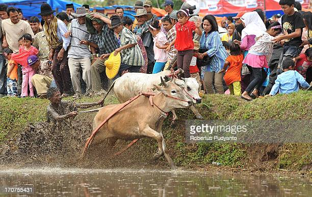 CONTENT] Pacu Jawi in Tanah Datar Western Sumatra Indonesia on January 12 2013 Pacu Jawi jockey difficulty controlling cattle out of control and ran...