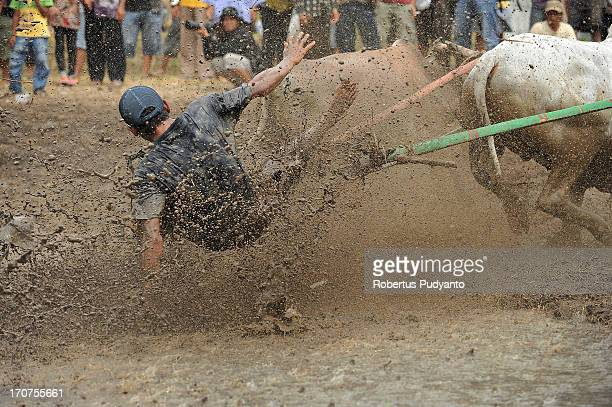 CONTENT] Pacu Jawi in Tanah Datar Western Sumatra Indonesia on January 12 2013 Pacu Jawi jockey fallen while spurring the cows The annual Cow Race...