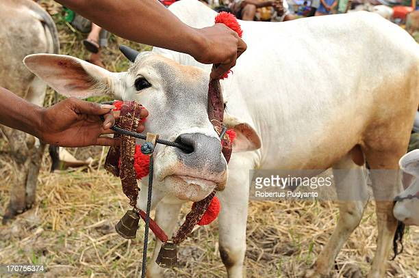 Pacu Jawi in Tanah Datar, Western Sumatra, Indonesia on January 12, 2013 : Pacu Jawi participants put Ganto, bell accesories to the cow before...