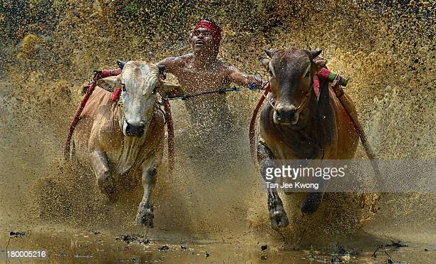 Pacu Jawi is a 400 year tradition where farmers become jockeys and race their pair of bulls after the completion of rice harvesting season.