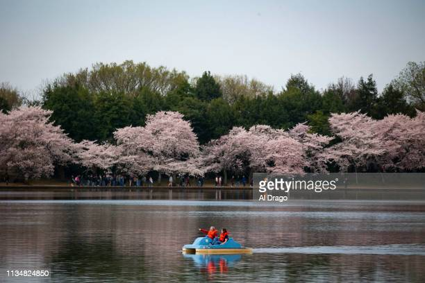 A paddle boat navigates the Tidal Basin as cherry trees are in full bloom on April 4 2019 in Washington DC