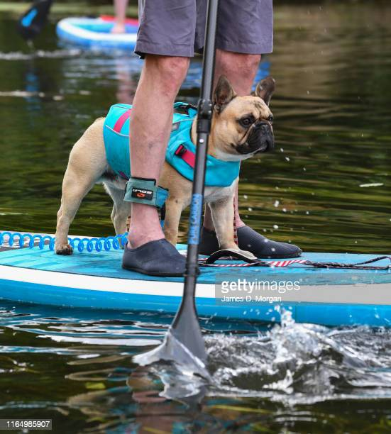 Paddleboarders enjoy an evening ride with their dogs on the River Avon on July 29 2019 in BradfordonAvon United Kingdom Standup paddleboarding is a...
