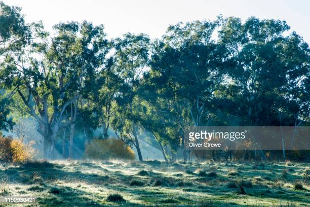 paddock covered in frost - eucalyptus tree stock pictures, royalty-free photos & images